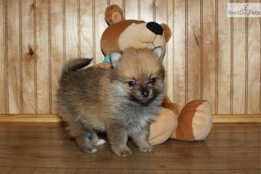 Teacup Puppies For Sale In Tulsa Oklahoma