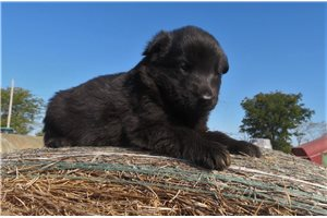 Jean AKC Female | Puppy at 5 weeks of age for sale