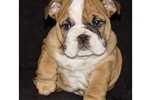 Featured Breeder of Bulldogs with Puppies For Sale