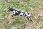 Picture of Blue/Tan Merle Harlequin Pinscher