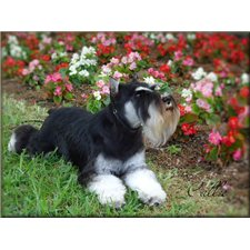 View full profile for Classic Mini Schnauzers