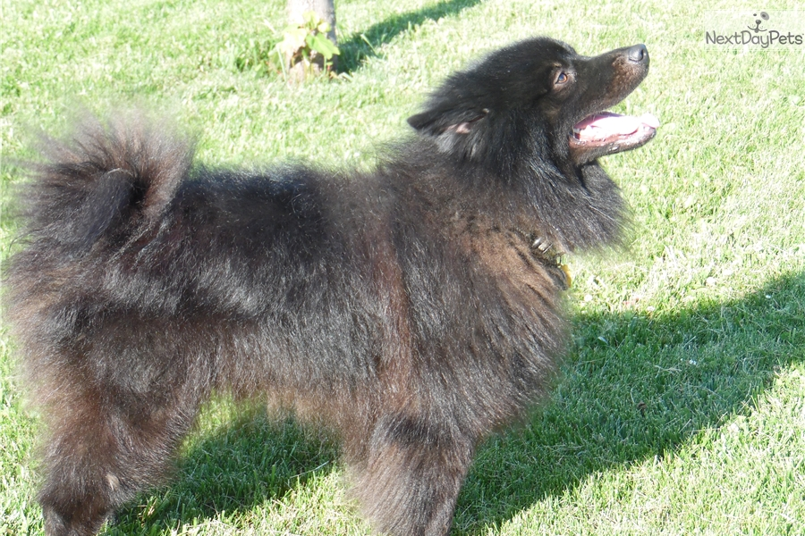 Sammie Keeshond Puppy For Sale Near Indianapolis Indiana E1993425 7511