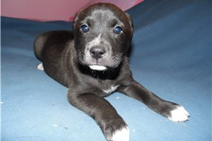 American Staffordshire Terriers for sale
