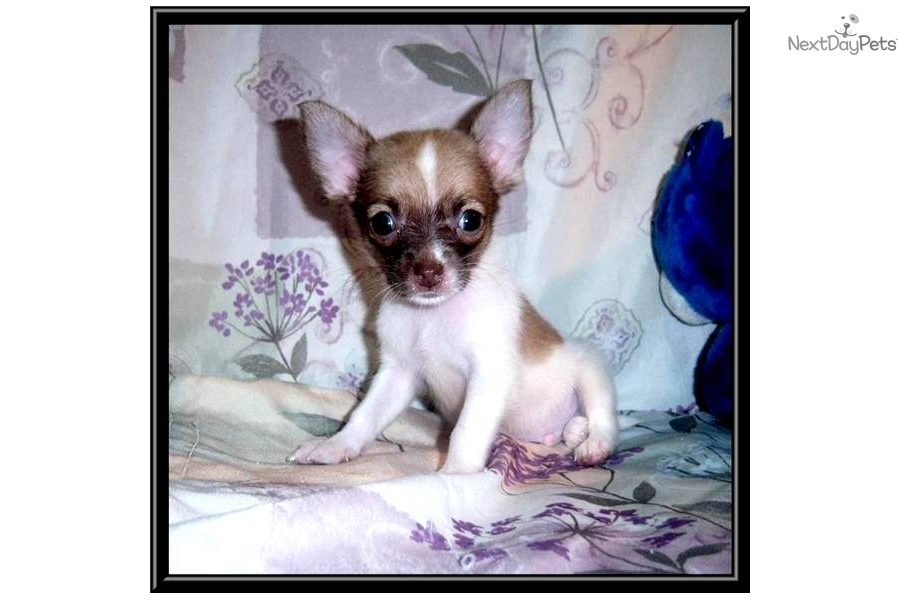 applehead long haired chihuahua puppies for sale pretty toy male applehead long haired chihuahua 5347