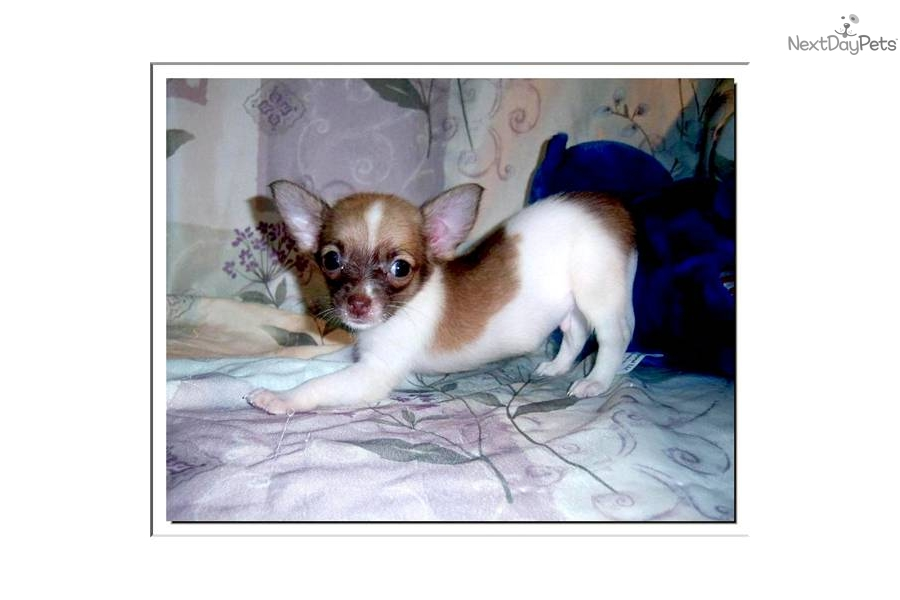 applehead long haired chihuahua puppies for sale pretty toy male applehead long haired chihuahua 5252