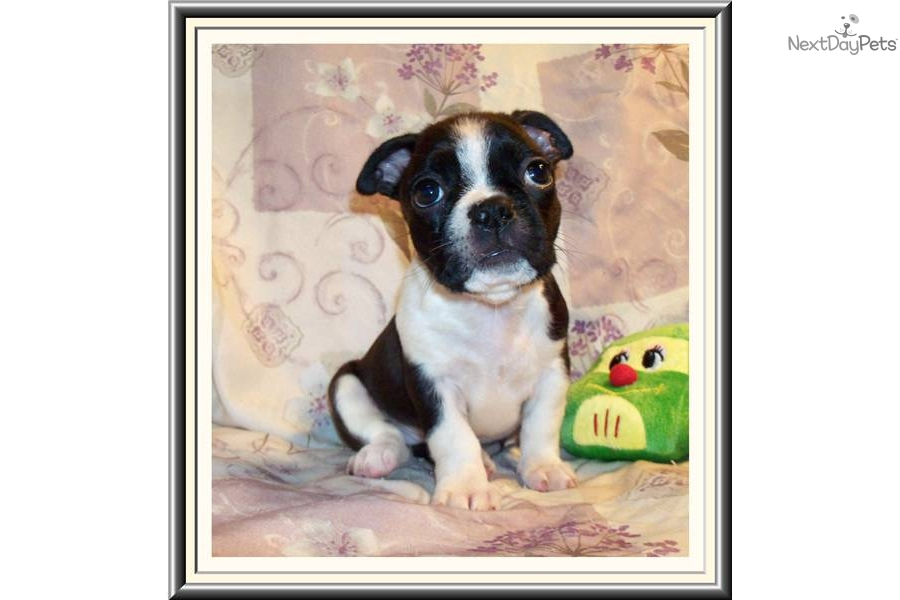 Meet Portia A Cute French Bulldog Puppy For Sale For 650 Super Cute Little Female Frenchton Puppy