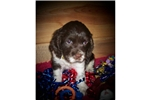 Picture of a Cocker Spaniel Puppy