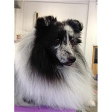 View full profile for Liberty Shelties