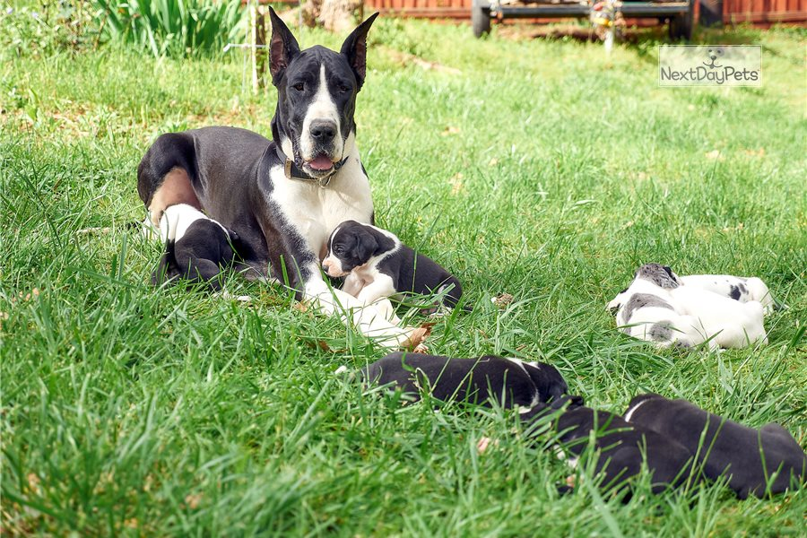 Merlequin: Great Dane puppy for sale near Atlanta, Georgia ...