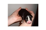 Picture of Entlebucher