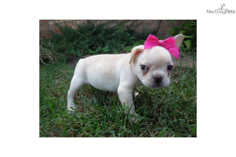 French Bulldog Puppy For Sale Near Springfield Missouri 939a1108 Ee41
