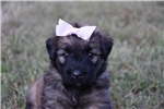 Picture of AKC Loving Fawn girl Loving and laid back