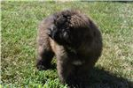 Picture of Rescue Bouvier Puppy Very sweet and loving