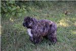 Picture of Rescue Bouvier Puppy Very sweet Loves Ppl