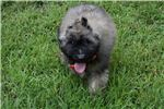 Picture of AKC Stocky Fluffy Fawn boy Great with Kids!