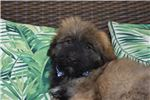 Picture of AKC fawn boy, laid back Great with children