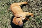 Picture of Beautiful AKC Rhodesian