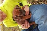 Picture of Molly-AKC Rhodesian Ridgeback