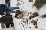 Picture of Akc registered Norwegian elkhound