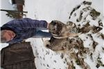 Akc registered Norwegian elkhound | Puppy at 6 years of age for sale