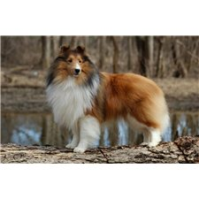 View full profile for Candescent Shetland Sheepdogs