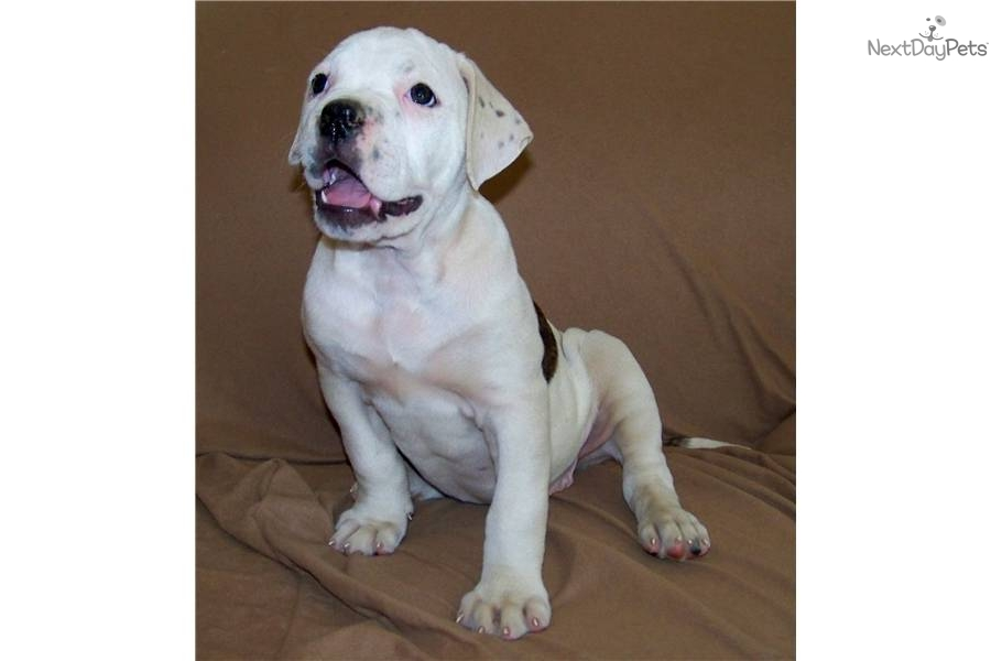 female american bulldog names american bulldog for sale for 600 near palm springs 6264