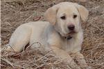 Picture of AKC Reg. Labrador Retriever Male Puppy