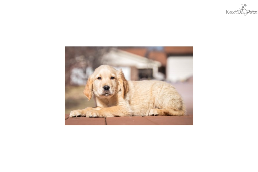 Stanley Golden Retriever Puppy For Sale Near Cincinnati Ohio