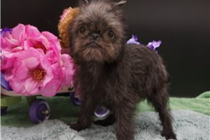 Brussels Griffons for sale