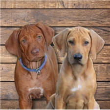 View full profile for On The Rocks Rhodesian Ridgebacks