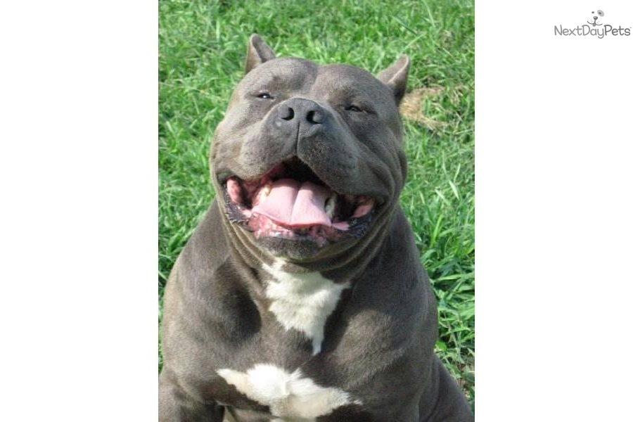 Puppies For Sale From Muscle Dog Kennels Member Since