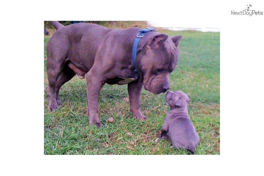 Puppies For Sale From Muscle Dog Kennels Member Since August 2009