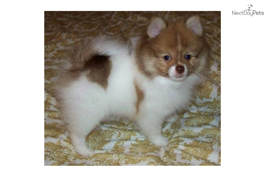 Pomeranian for sale for $600, near Roswell / Carlsbad, New ...