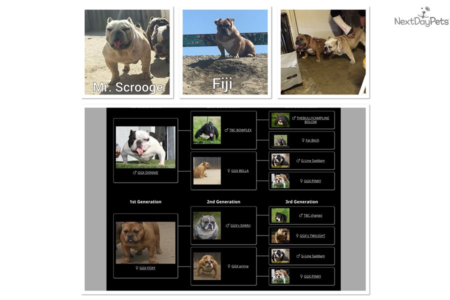 American Bully Dogs For Sale In The Bay Area