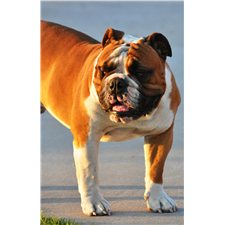 View full profile for Crossroads Bullies