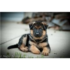 View full profile for Parkseite German Shepherds