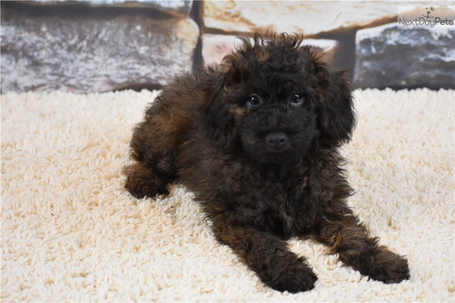 Eli Poodle Toy Puppy For Sale Near Kansas City Missouri