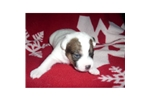 Picture of a Jack Russell Terrier Puppy