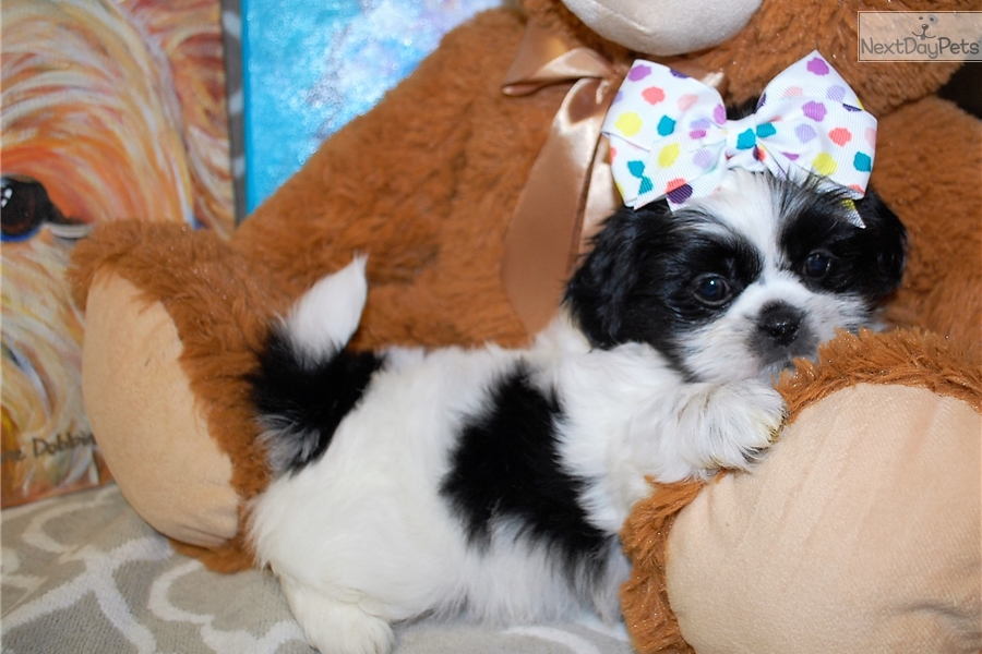 Nebula: Shih Tzu puppy for sale near Mobile, Alabama