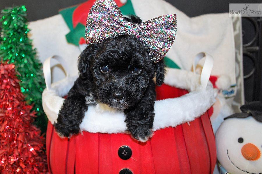 Jen Yorkiepoo Yorkie Poo Puppy For Sale Near Mobile Alabama