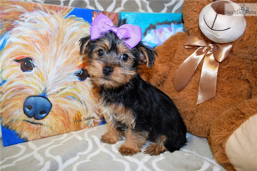 Summer: Yorkshire Terrier - Yorkie puppy for sale near