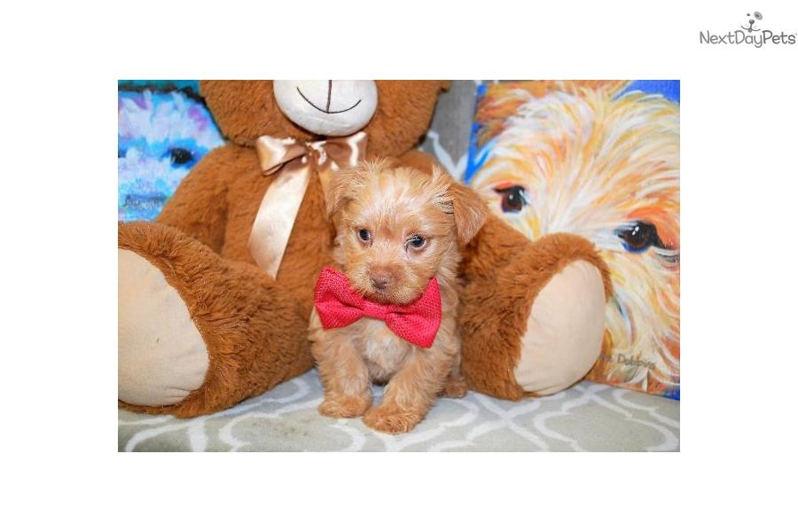 Cap Crunch: Yorkshire Terrier - Yorkie puppy for sale near