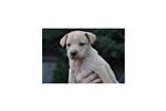 Picture of a Carolina Dog Puppy