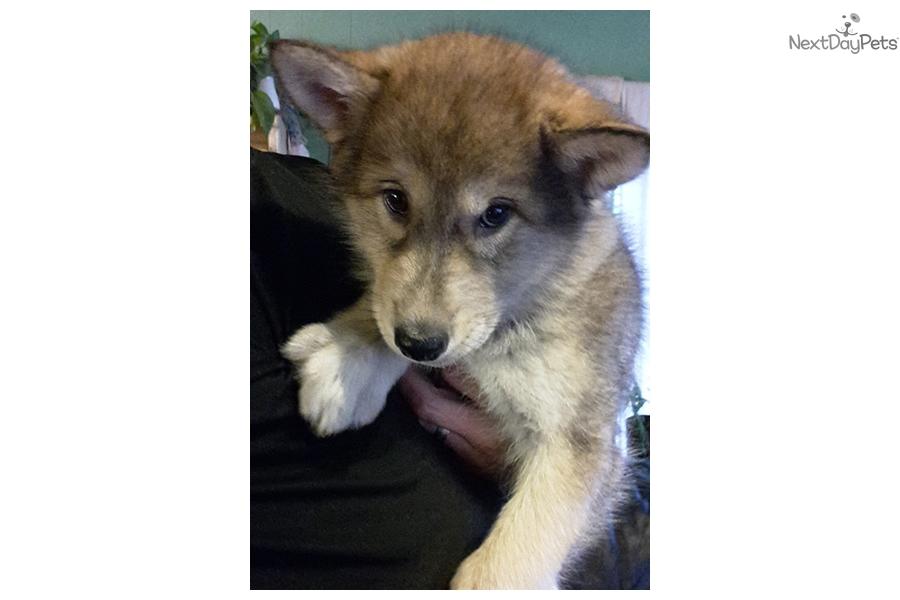 Wolf Hybrid Puppy For Sale Near Sacramento California 5c5cc329 3c61