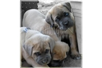 Featured Breeder of Cane Corso Mastiffs with Puppies For Sale