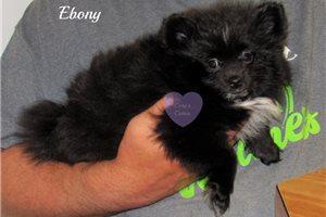 Picture of Ebony