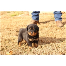 View full profile for Gauldin's Rottweilers