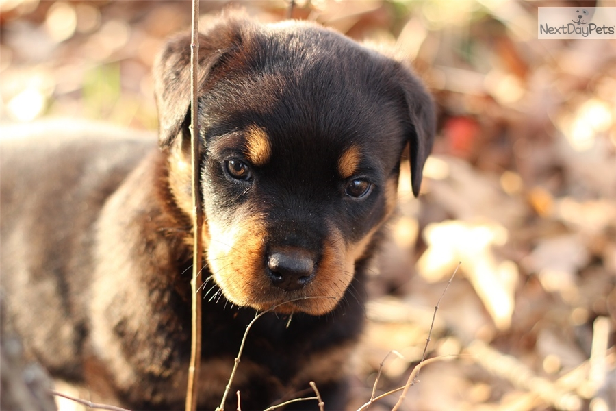 Max Rottweiler Puppy For Sale Near Springfield Missouri 15f44241