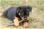 Picture of AKC GERMAN ROTTWEILER FEMALE **BELLA**