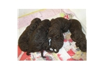 Picture of AKC male American Water Spaniel!!